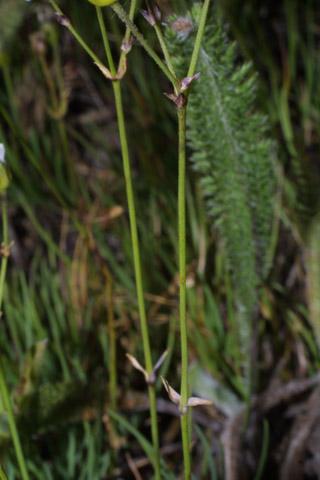 Image http://bioimages.vanderbilt.edu/lq/baskauf/warca7-st41375.jpg