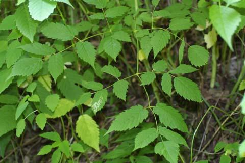 Image http://bioimages.vanderbilt.edu/lq/baskauf/wardi8-lf26616.jpg