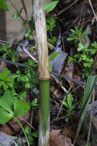 Image http://bioimages.vanderbilt.edu/lq/baskauf/wargi--br18253.jpg