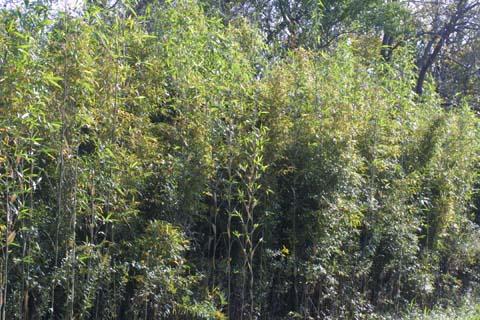 Image http://bioimages.vanderbilt.edu/lq/baskauf/wargi--wpmass30152.jpg