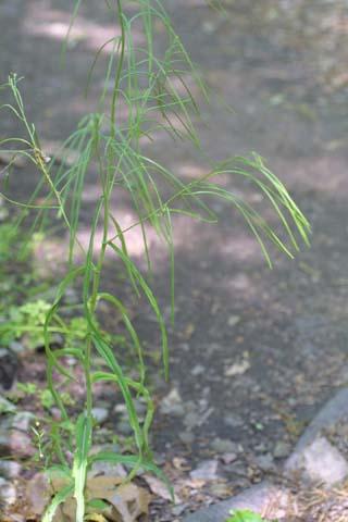 Image http://bioimages.vanderbilt.edu/lq/baskauf/warla--wpin-fruit22862.jpg