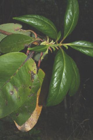 Image http://bioimages.vanderbilt.edu/lq/baskauf/warme--lfseveral40463.jpg