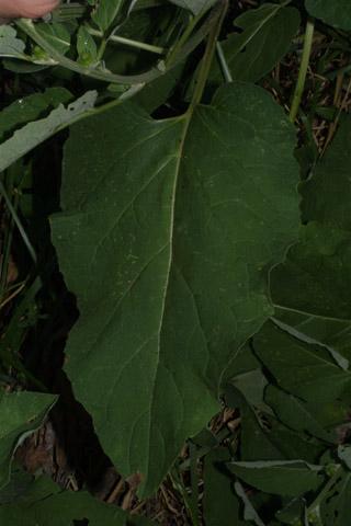 Image http://bioimages.vanderbilt.edu/lq/baskauf/warmi2-lflower28622.jpg