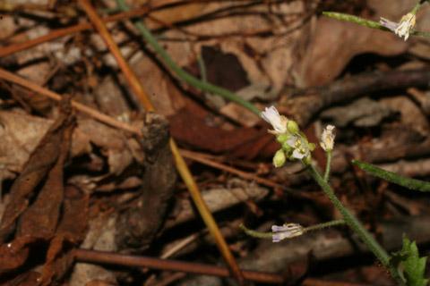 Image http://bioimages.vanderbilt.edu/lq/baskauf/warpe3-flfront57849.jpg