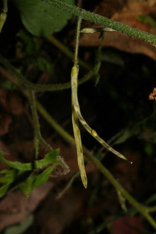 Image http://bioimages.vanderbilt.edu/lq/baskauf/warpe3-frseed57868.jpg