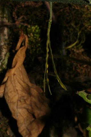Image http://bioimages.vanderbilt.edu/lq/baskauf/warpe3-frside-dehiscing57864.jpg