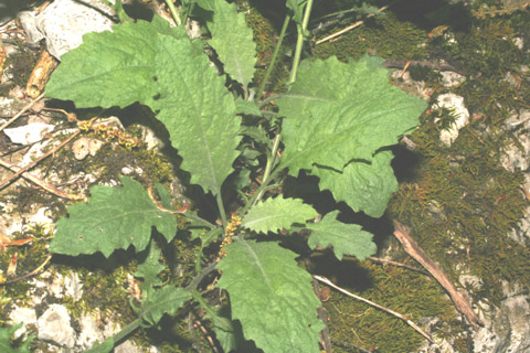Image http://bioimages.vanderbilt.edu/lq/baskauf/warpe3-lfbasal-rosette65065cb625.jpg