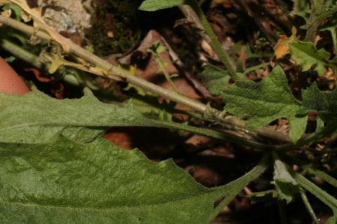 Image http://bioimages.vanderbilt.edu/lq/baskauf/warpe3-lfmargin-uplow57781.jpg