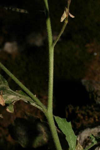 Image http://bioimages.vanderbilt.edu/lq/baskauf/warpe3-stinflorescence57823.jpg