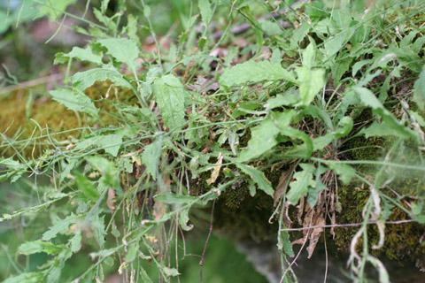 Image http://bioimages.vanderbilt.edu/lq/baskauf/warpe3-wp65341cb628.jpg