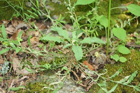 Image http://bioimages.vanderbilt.edu/lq/baskauf/warpe3-wpbase65332cb629.jpg