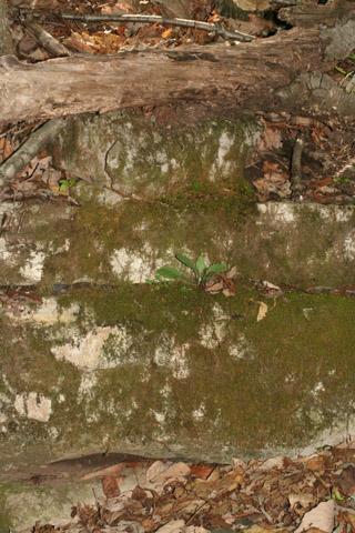 Image http://bioimages.vanderbilt.edu/lq/baskauf/warpe3-wpjuvenile-habit57840.jpg
