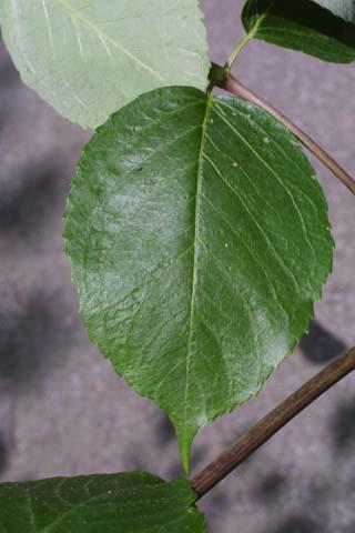Image http://bioimages.vanderbilt.edu/lq/baskauf/warsp2-lfleaflet25400.jpg