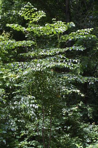 Image http://bioimages.vanderbilt.edu/lq/baskauf/warsp2-wp25379.jpg