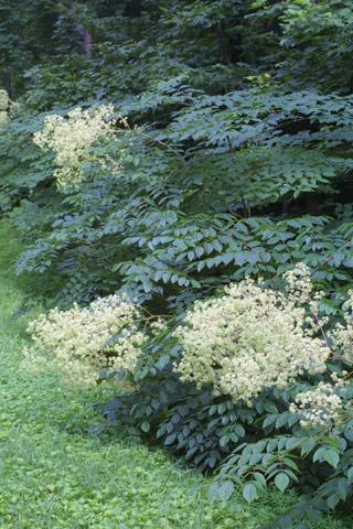 Image http://bioimages.vanderbilt.edu/lq/baskauf/warsp2-wpmass28817.jpg