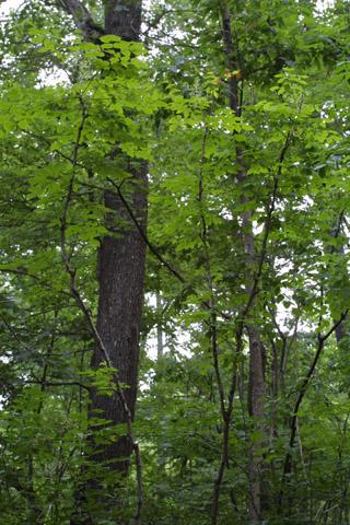 Image http://bioimages.vanderbilt.edu/lq/baskauf/warsp2-wpsmall13743.jpg