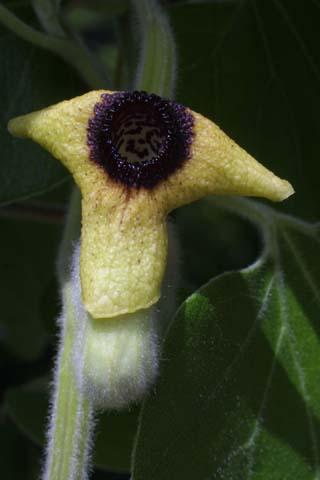 Image http://bioimages.vanderbilt.edu/lq/baskauf/warto3-flfront24382.jpg