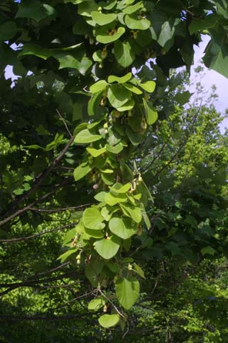 Image http://bioimages.vanderbilt.edu/lq/baskauf/warto3-wp24374.jpg