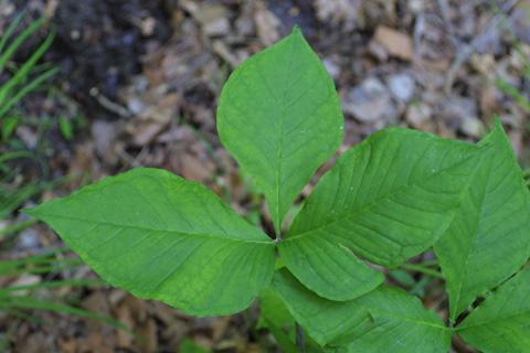 Image http://bioimages.vanderbilt.edu/lq/baskauf/wartr--lf11707.jpg