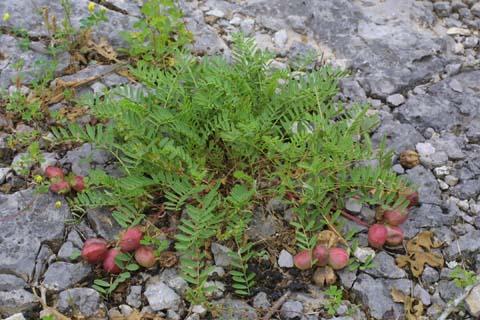 Image http://bioimages.vanderbilt.edu/lq/baskauf/wasbi6-wp25038.jpg