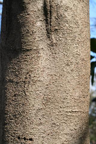Image http://bioimages.vanderbilt.edu/lq/baskauf/wastr--br50443.jpg