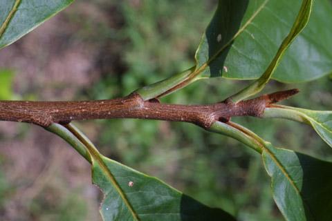 Image http://bioimages.vanderbilt.edu/lq/baskauf/wastr--tw15222.jpg