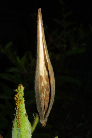 Image http://bioimages.vanderbilt.edu/lq/baskauf/wastu--fr43241.jpg