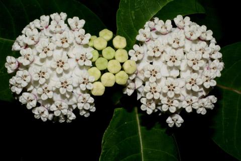 Image http://bioimages.vanderbilt.edu/lq/baskauf/wasva--flinflor-front52143.jpg