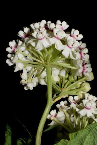 Image http://bioimages.vanderbilt.edu/lq/baskauf/wasva--flinflor-rear52160.jpg