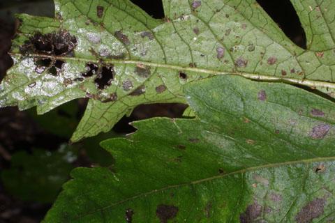 Image http://bioimages.vanderbilt.edu/lq/baskauf/waufl--lfmargin-uplow37913.jpg