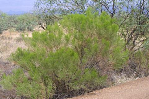 Image http://bioimages.vanderbilt.edu/lq/baskauf/wbasa2-wp14507.jpg