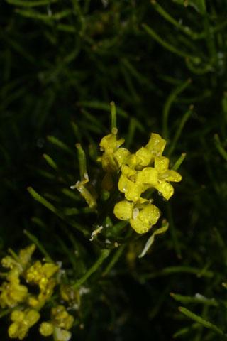 Image http://bioimages.vanderbilt.edu/lq/baskauf/wbave--fl33613.jpg