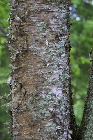 Image http://bioimages.vanderbilt.edu/lq/baskauf/wbeal2-brmedium11516.jpg