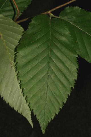 Image http://bioimages.vanderbilt.edu/lq/baskauf/wbeal2-lf49247.jpg
