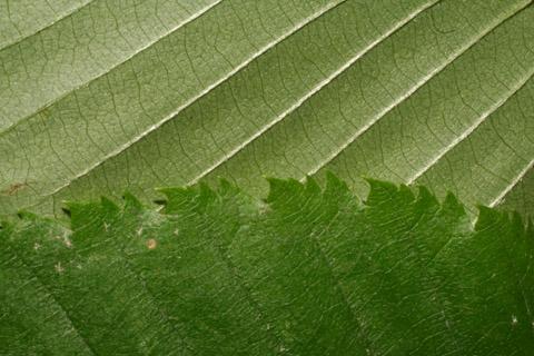 Image http://bioimages.vanderbilt.edu/lq/baskauf/wbeal2-lfmargin-uplow49248.jpg