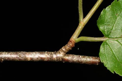 Image http://bioimages.vanderbilt.edu/lq/baskauf/wbeal2-tw49250.jpg