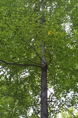 Image http://bioimages.vanderbilt.edu/lq/baskauf/wbele--wplookup38156.jpg