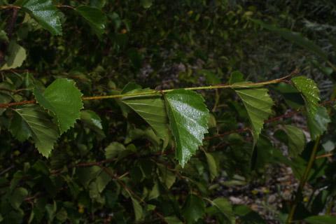 Image http://bioimages.vanderbilt.edu/lq/baskauf/wbeoc2-lfseveral43085.jpg