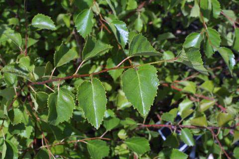 Image http://bioimages.vanderbilt.edu/lq/baskauf/wbeoc2-lfseveral43088.jpg