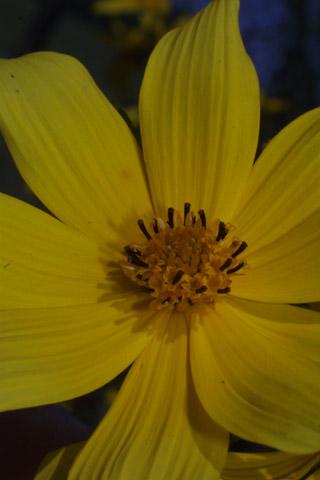 Image http://bioimages.vanderbilt.edu/lq/baskauf/wbiar--flclose29307.jpg