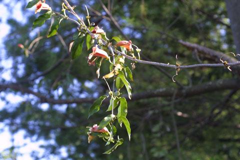 Image http://bioimages.vanderbilt.edu/lq/baskauf/wbica--tw10773.jpg