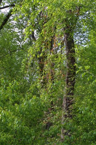 Image http://bioimages.vanderbilt.edu/lq/baskauf/wbica--wpdistant10747.jpg