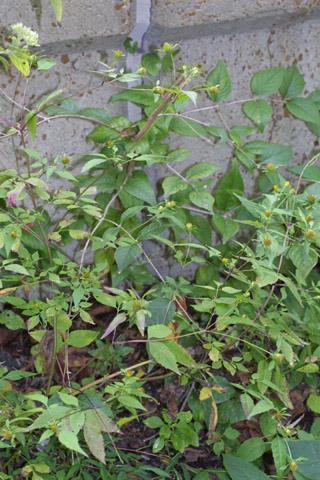 Image http://bioimages.vanderbilt.edu/lq/baskauf/wbifr--wp29734.jpg