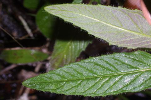 Image http://bioimages.vanderbilt.edu/lq/baskauf/wblci--lfmargin-uplow34259.jpg