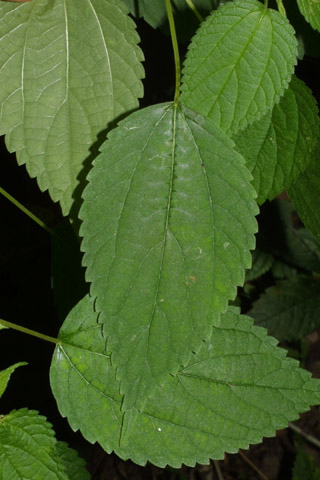 Image http://bioimages.vanderbilt.edu/lq/baskauf/wbocy--lf36665.jpg