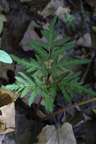 Image http://bioimages.vanderbilt.edu/lq/baskauf/wbodi2-lf16580.jpg