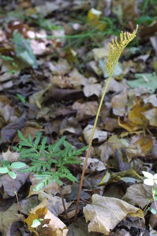 Image http://bioimages.vanderbilt.edu/lq/baskauf/wbodi2-wp16576.jpg