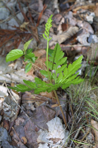 Image http://bioimages.vanderbilt.edu/lq/baskauf/wbovi--wp33403.jpg
