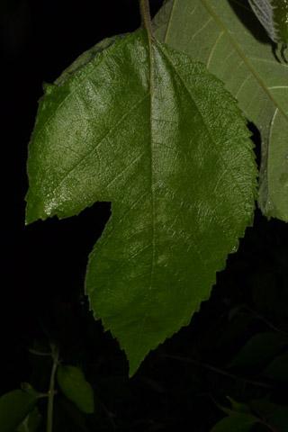 Image http://bioimages.vanderbilt.edu/lq/baskauf/wbrpa4-lf39508.jpg