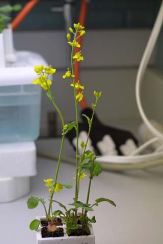 Image http://bioimages.vanderbilt.edu/lq/baskauf/wbrra--wpin-flower10111.jpg